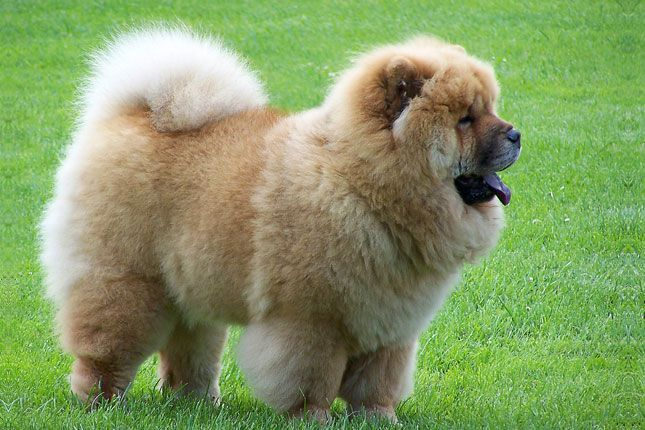 Chow Chow Chow Chow Puppy Chow Chow Dogs