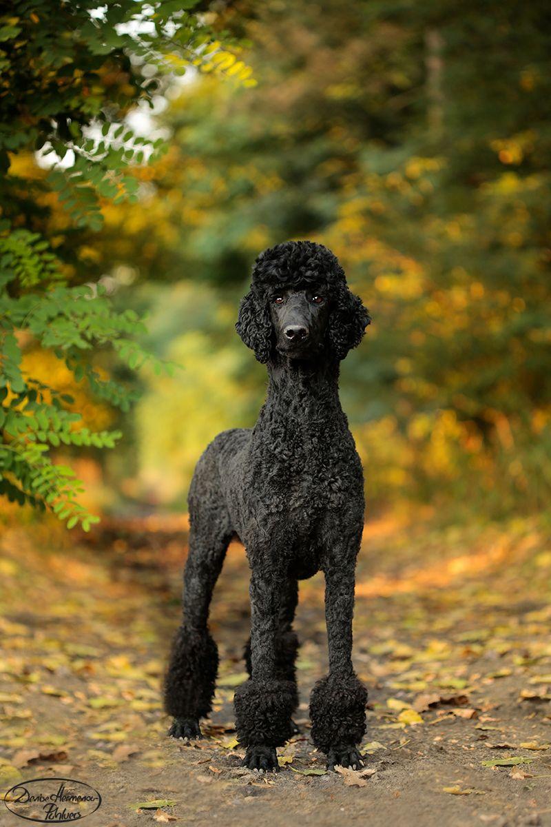 #poodle #sunset #pudel #standardpoodle #cute #dog #hund #backlight #großpudel #königspudel #miamiclip #miami #autumn #herbstidee #wallpapers #black #poodlelove #denise_hermenau #denise.hermenau #hundefotograf #nature #forest #herbstdeko