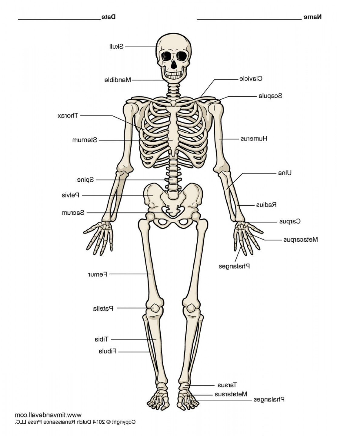 unlabeled diagram of the human skeleton unlabeled diagram of the unlabeled body diagram [ 1112 x 1440 Pixel ]