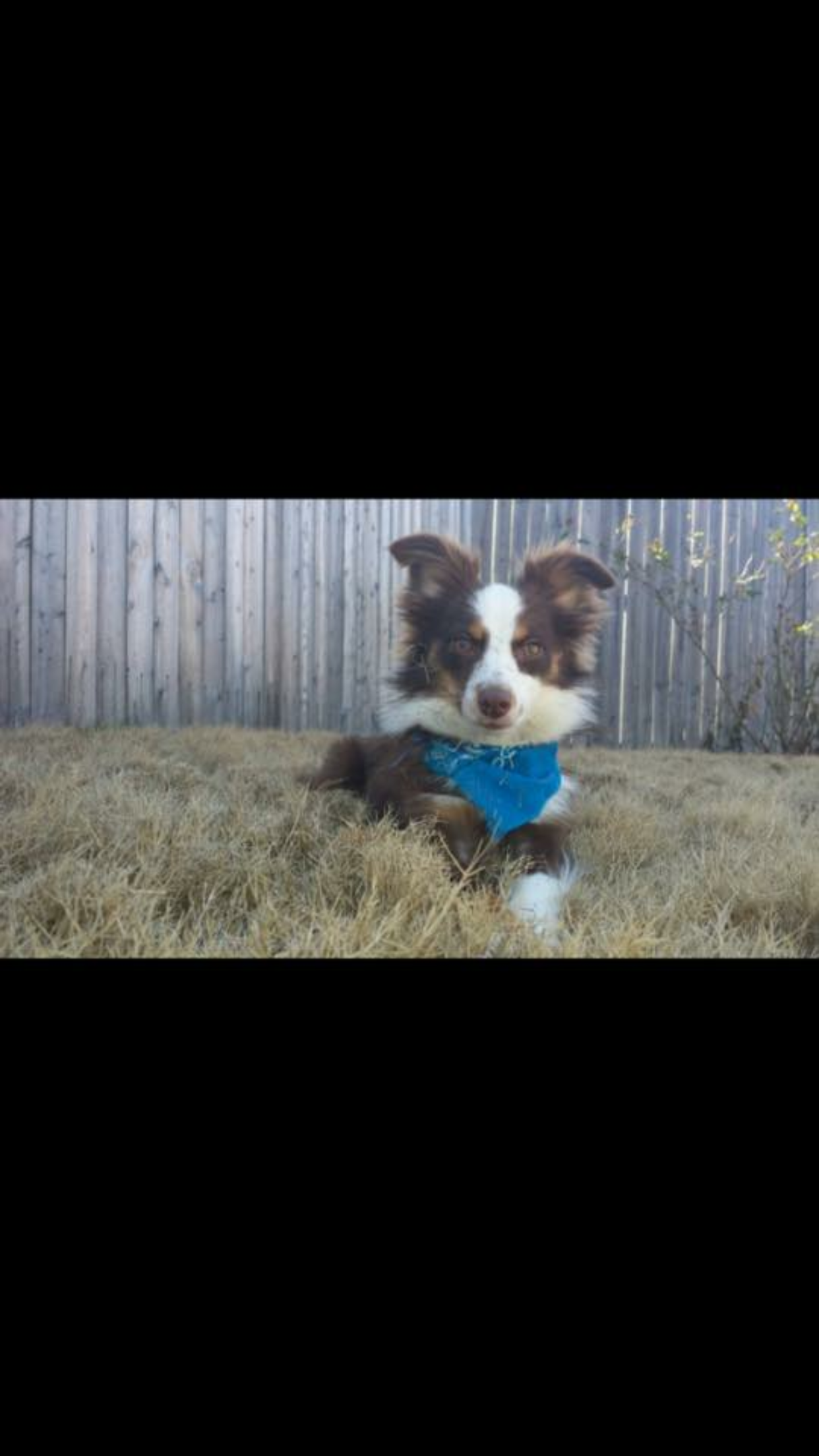 Pin by Danielle Rutherford on Toy Aussie Breeders Indoor