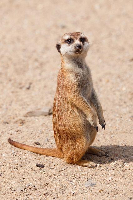 Kostenloses Bild Auf Pixabay Alarm Tier Niedlich Pelz Haar Tiere Kostenlose Bilder Niedlich