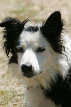 Meeker Colorado Meeker Sheep Dog Classic Crazy Dog Border