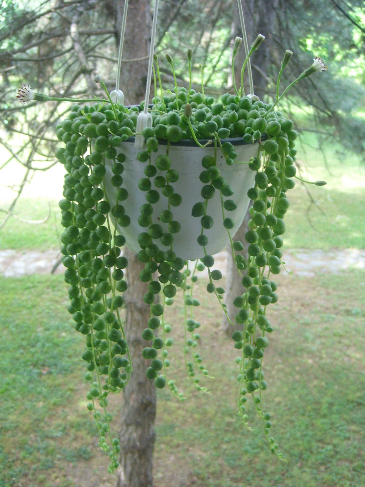 String of pearls plant care - Curio Rowleyanus Senecio Rowleyanus String Of Pearls Is A Perennial Succulent With Up To 3 Feet Cm Long Trailing Stems