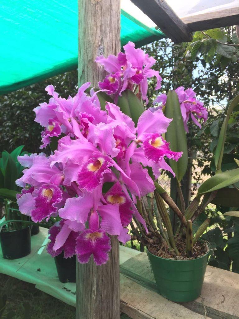 Cattleya warscewiczii orquideas orchids planta for Vivero de plantas exoticas