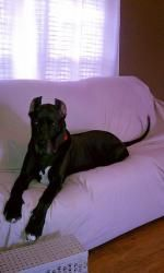 Adopt Chaos On Great Dane Dogs Animals Are Beautiful People