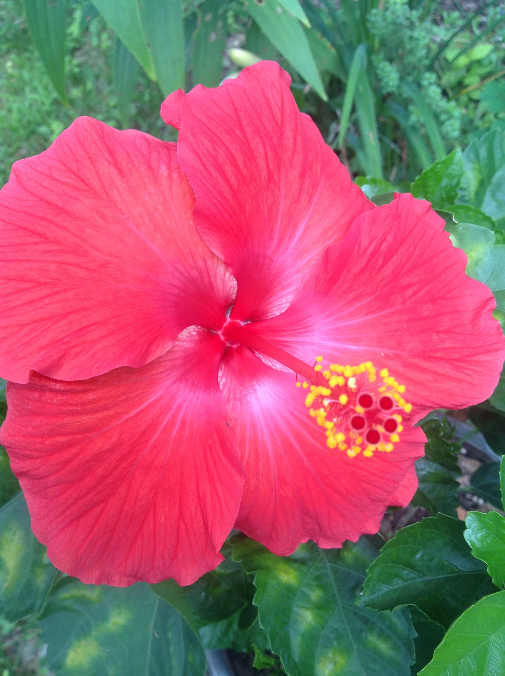 Lord ganeshas fave flower red hibiscus flower jaswanti lord ganeshas fave flower red hibiscus flower jaswanti izmirmasajfo