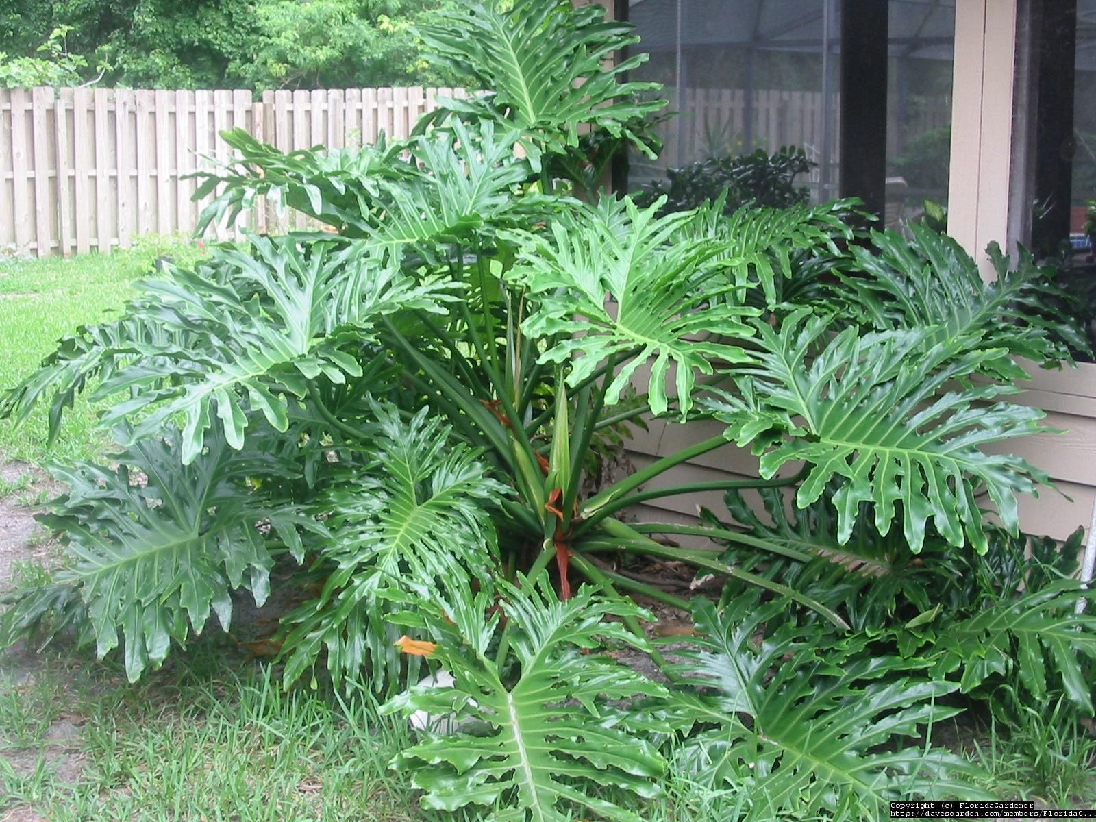 I Want A Philodendron For The House Large Leaf Plants Florida Garden