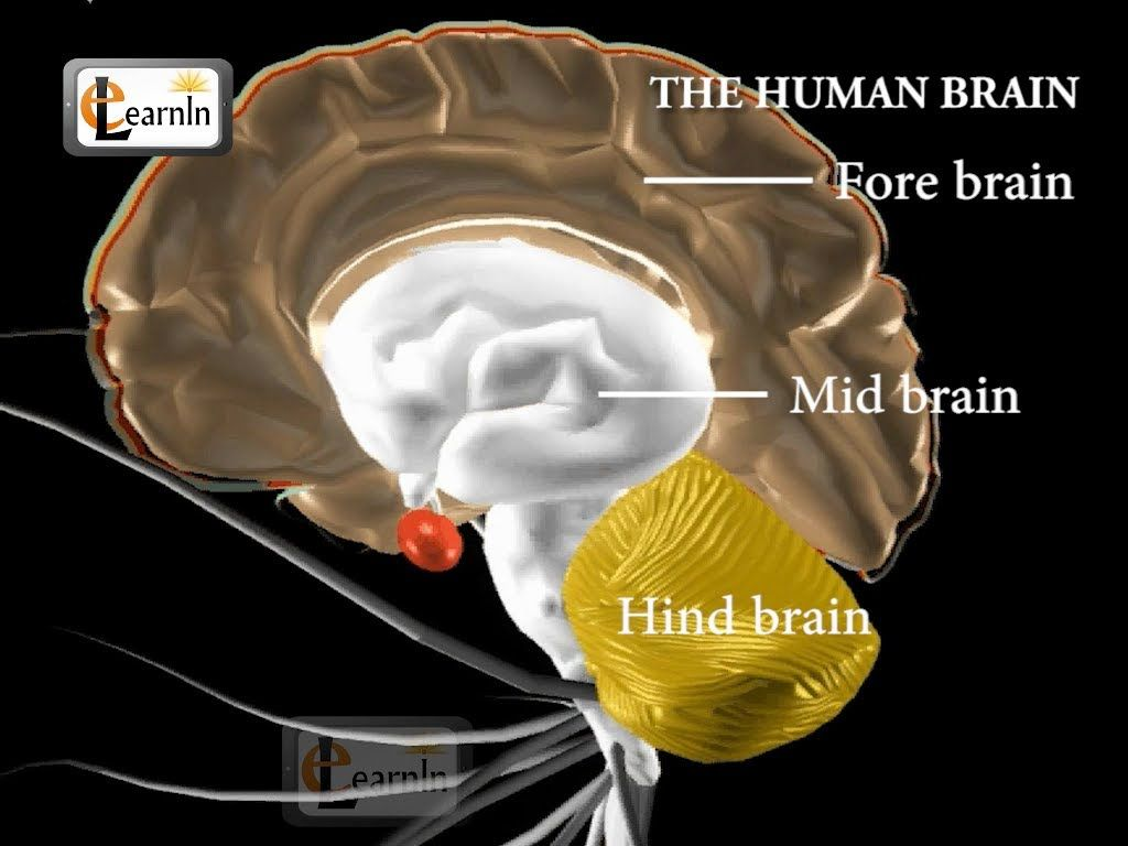 Human Brain And Its Parts