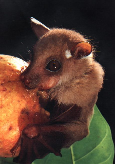 fruit bat / fox bat Bat Bats #bat #bats