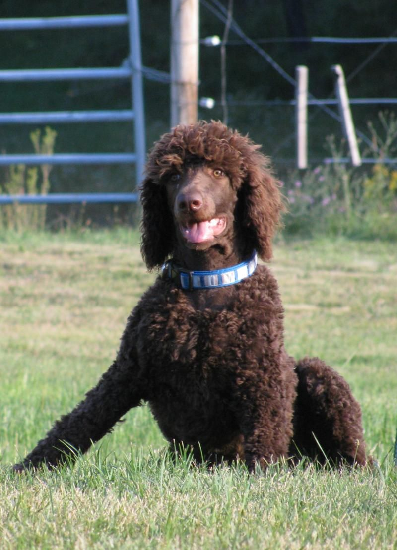 Dreamscapes Standard Poodles Dreamscapes Cornerstone Parlay N