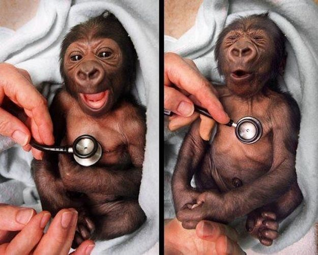 Baby gorilla reacting to a cold stethoscope. omg <3