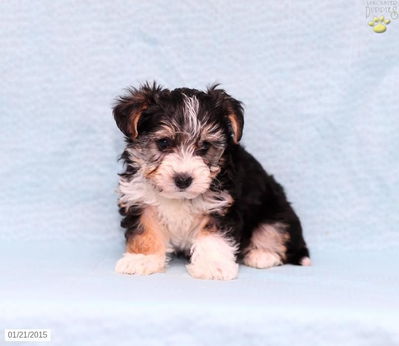 Yorkiepoo Puppy for Sale in Pennsylvania Yorkie poo