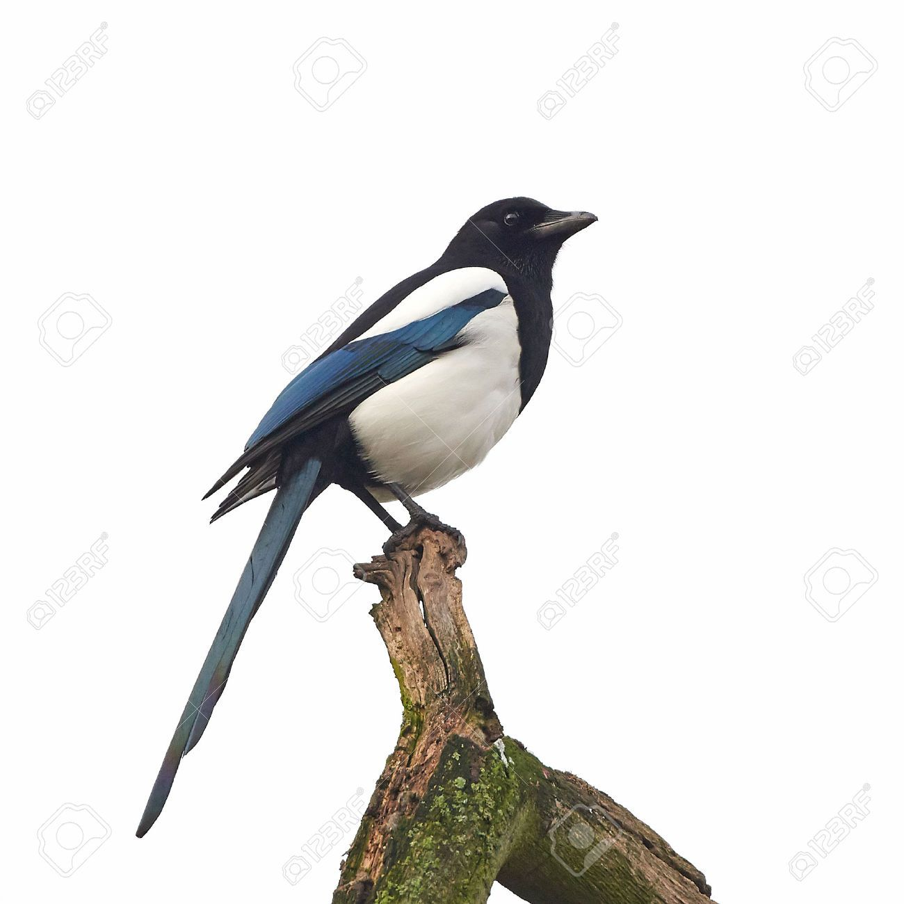 this images was sold today 123rf eurasian magpie bird animal