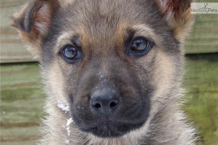 Meet cody a cute german shepherd puppy for sale for 600