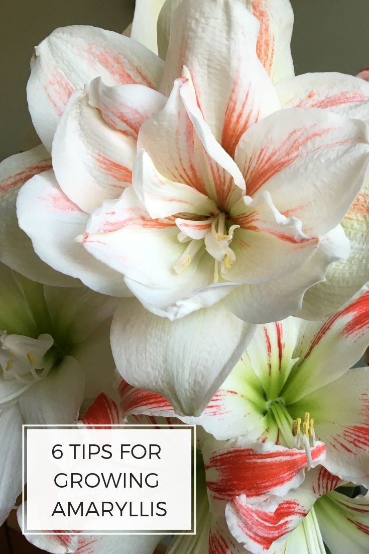 Growing An Amaryllis Requires No Special Skills Here Are 6 Tips That Will Help You Get The Best Results From These B Winter Plants Amaryllis Special Flowers