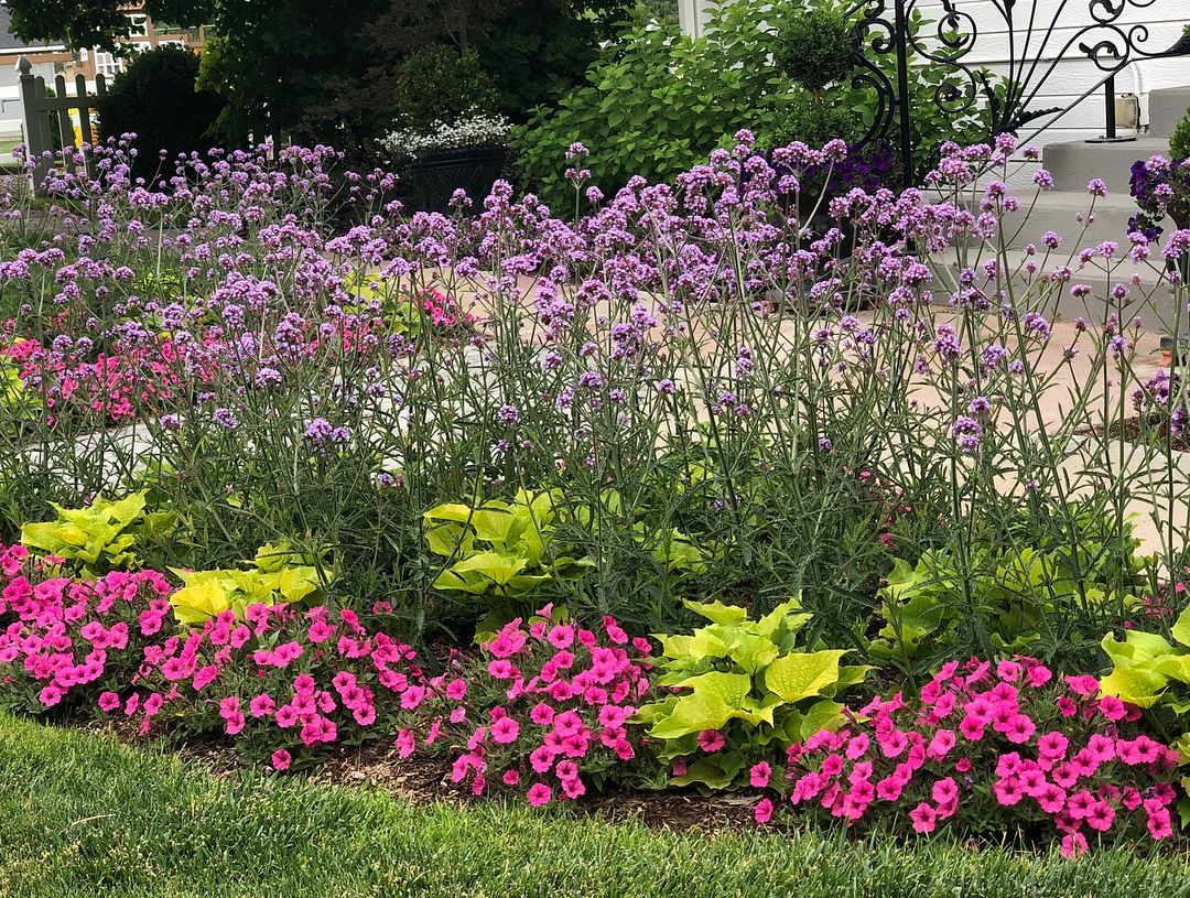 These Plants Meteor Shower Verbena Supertunia Hot Pink