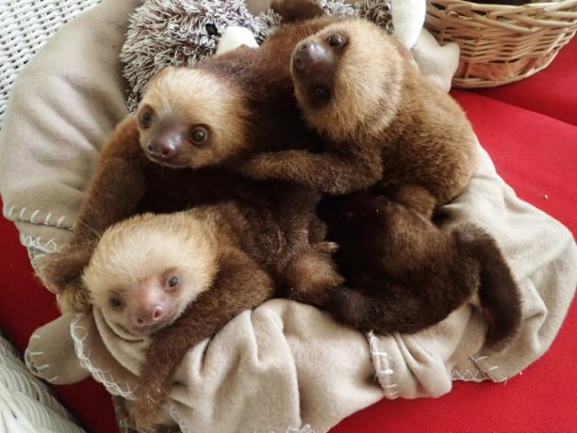 The Indianapolis Zoo Six Adorable Rescue Sloths