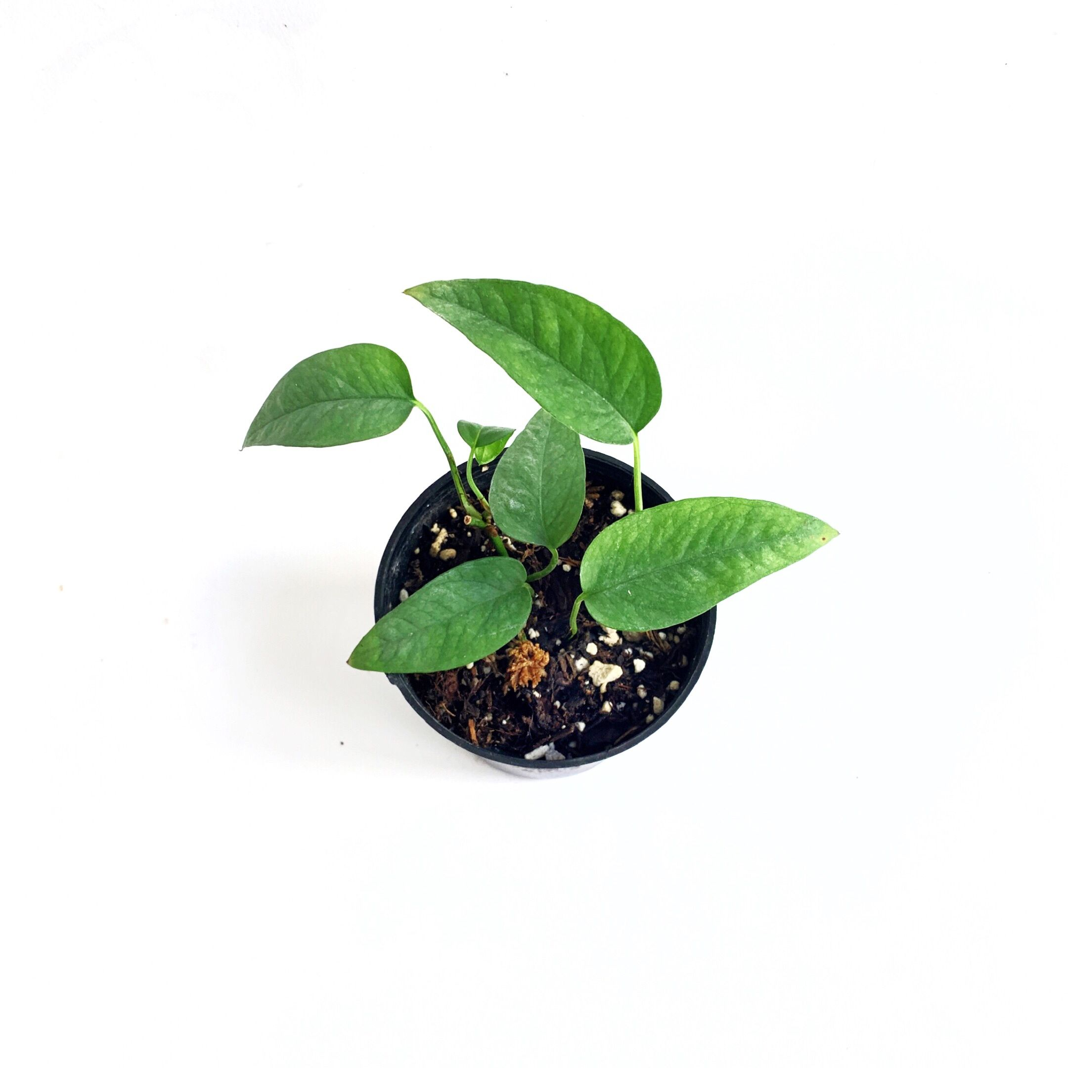 #cebublue #pothos #trailingplants #plantshop #LAplantshop #DTLAshop #LAshop #shopsmall #shoplocal  #plantsale #plantcommunity #houseplantcommunity #epipremnumpinnatum #plantparenthood #planthoarder #flauntyourleaves  #coolplantkids #houseplantplantclub #houseplant  #urbanjunglebloggers #plantenabler #plantbased #plantcare #urbangardening #Plantlady #plantlover #plantnerd #plantlife #minimalist