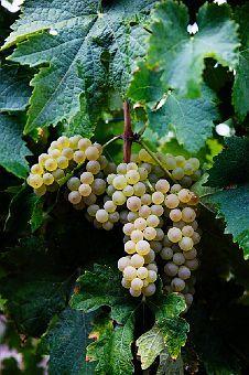 Mini Grape Orchard..