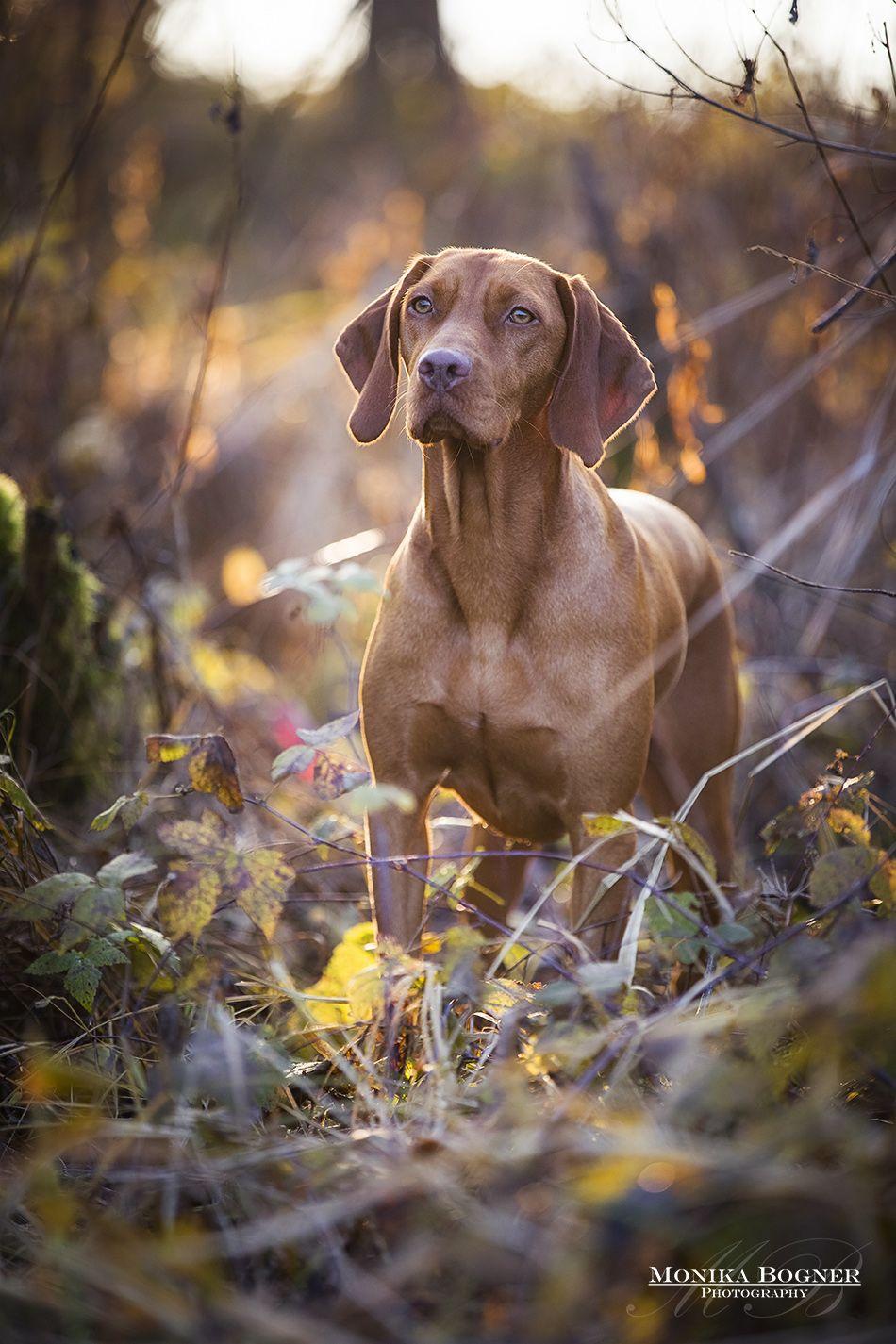 Magyar Vizsla Hunde In Der Natur Hundefotografie Monika Bogner Photography Pferdefotografie Und Hundefotografie In B Vizsla Hund Hundefotografie Vizsla