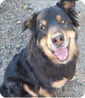 Adopt A Pet Photo 1 Kiwi Sechelt Bc German Shepherd Dog