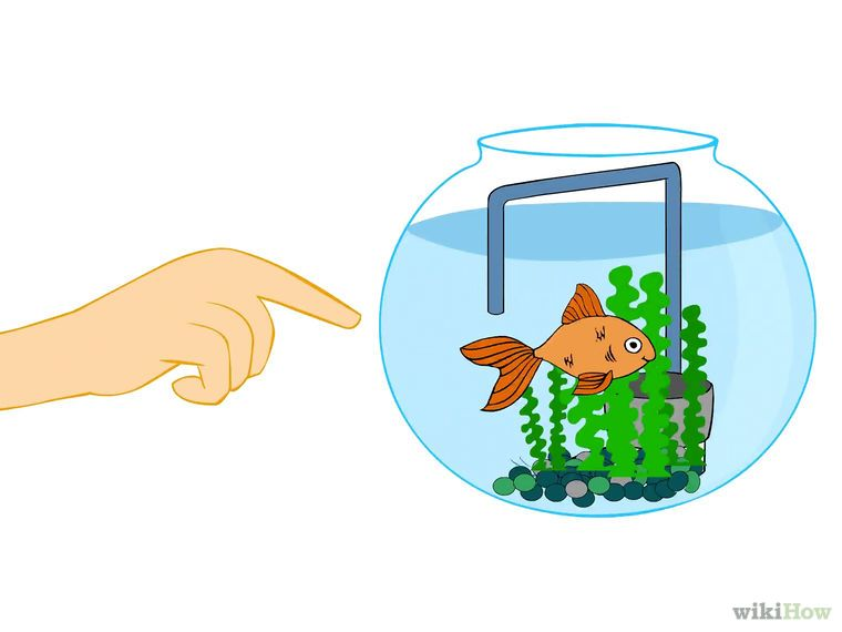 Care for a Fantail Goldfish (With images)   Fantail ...