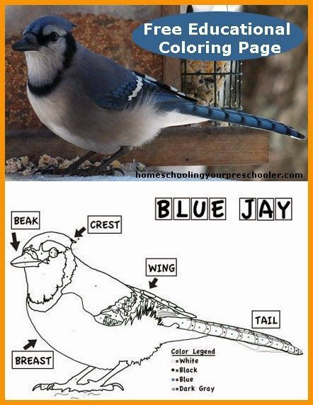 Blue Jay Coloring Sheet Blue Jay Homeschool Nature Study Blue Jay Bird