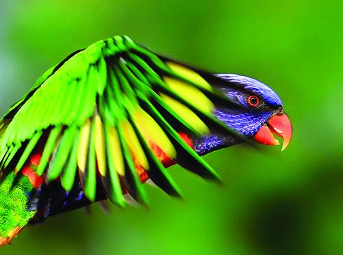 Rainbow Lorikeet Photo: Getty Images UK
