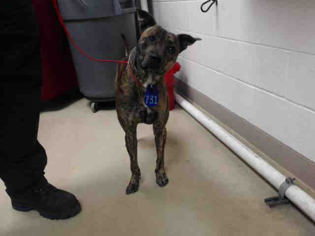 DOOBY - ID#A446168 My name is DOOBY I am a male, brown brindle Pit Bull Terrier mix. My age is unknown. I have been at the shelter since Oct 29, 2015. This information was refreshed 42 minutes ago and may not represent all of the animals at the Harris County Public Health and Environmental Services
