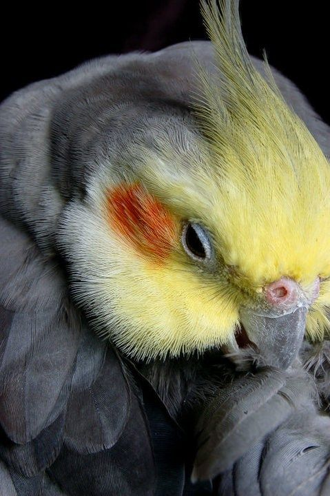 Cockatiel.  I had 3 of these birds.  They are so cute and loveable.  Best pets ever.  www.parkieten-online.nl