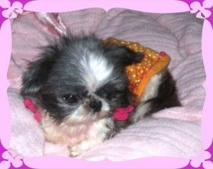 Tinker Bell Imperial Shih Tzu Is An Adoptable Shih Tzu Dog In