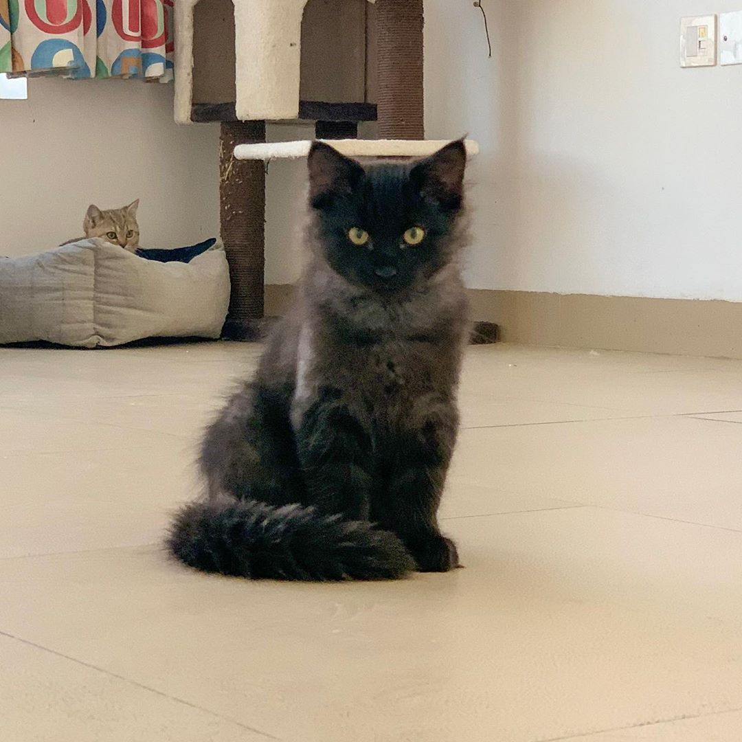 Amazing Black Siberian Kitten This Boy Is A True Siberian Cat With Lots Of Affection Intelligence An Cats Siberian Kittens Siberian Cat Cats