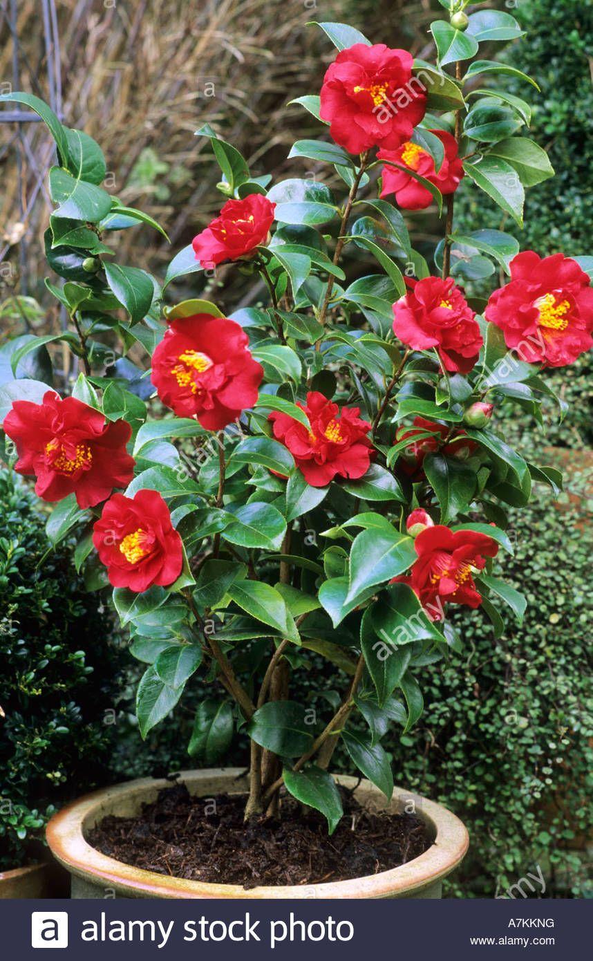 Morgan in plant camellia 39 barbara morgan 39 in container - Camelia planta ...