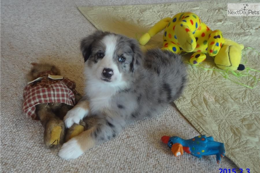 Congratulations Kevin Luari In Ca On Justin Australian Shepherd For Sale Australian Shepherd Australian Shepherd Puppy