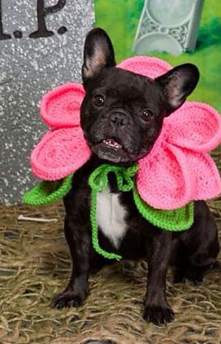 """""""I'm a Petunia"""", adorable French Bulldog in a Flower Costume.❤️"""