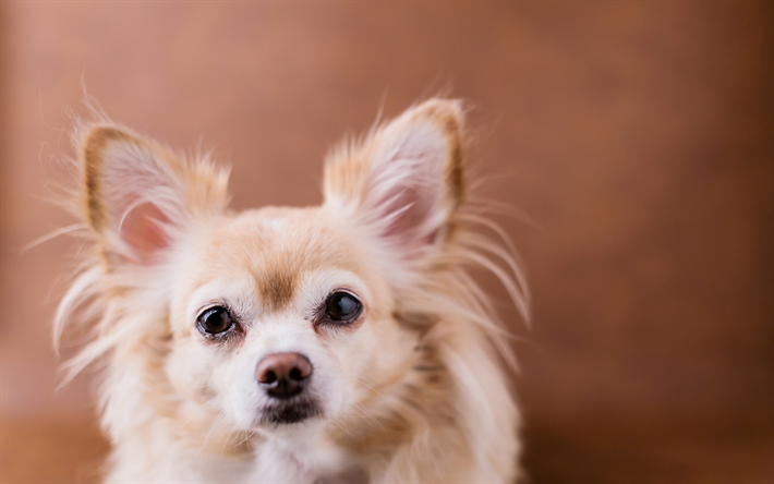 Download wallpapers Chihuahua, beige fluffy puppy, small