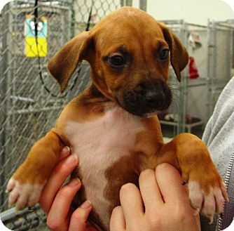 Pin By Cheryl Mcqueen Borsodi On Adoptable Dogs Puppies Boxer