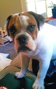 Beabull Awwwwwwww I Love Dogs Animals Pup
