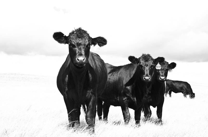 Country Home Decor Cows in the Snow Print {Black and White Cow Art Farm Picture} Hereford Photograph Livestock Photography