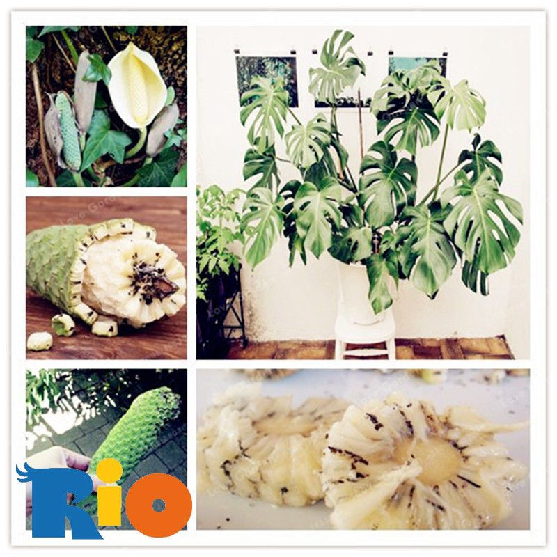 100 pcs Monstera deliciosa Liebm Seeds Bonsai For Home Garden Flower