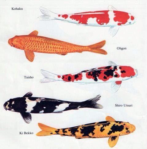Types Of Koi Koi Fish Koi Fish Drawing Koi Painting