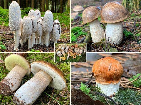 Pin Von Karola Auf Pilze In 2020 Pilze Steinpilze Pilze Sammeln