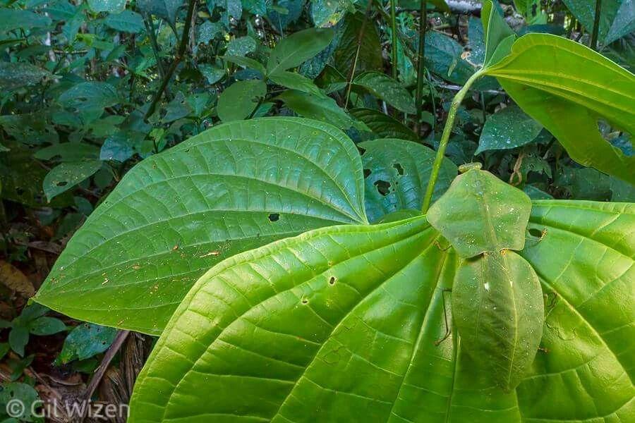 Hooded mantis choeradodis stalii camouflaged on a leaf