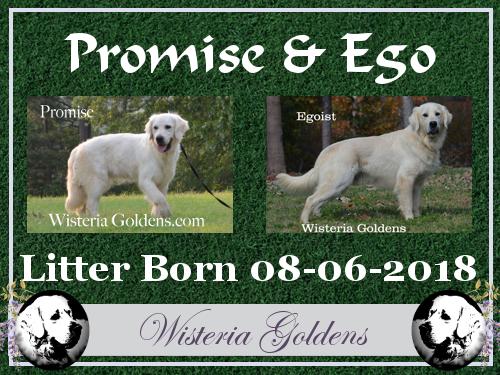 Wisteria Goldens English Cream Golden Retriever Puppies For Sale Retriever Puppy Puppies For Sale Golden Retriever