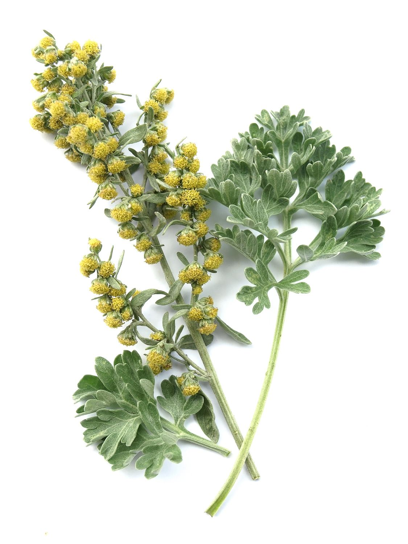 Wedding Flowers | Artemisia. COLORS: yellow SEASON: July to ...