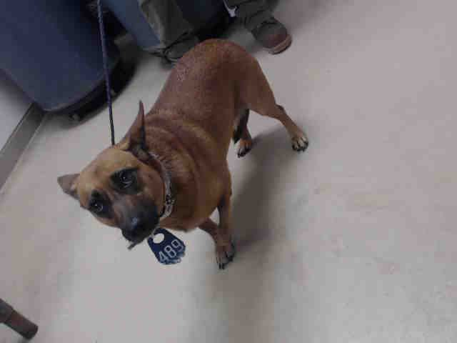 This Dog Id A468090 Urgent Harris County Animal Shelter In Houston Texas Animal Shelter Animals Dog Id