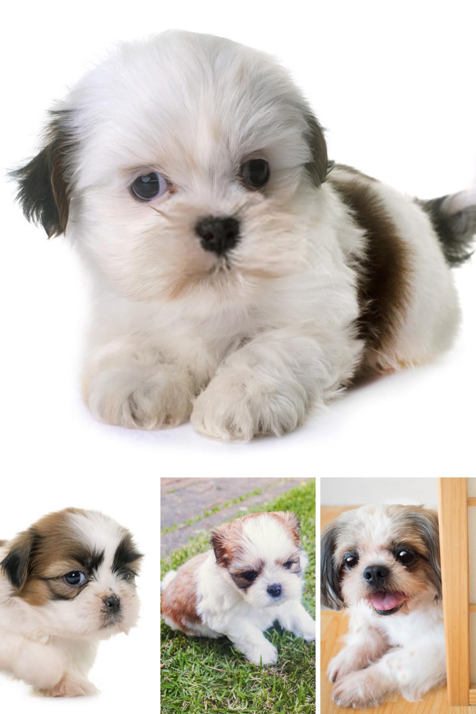 Shih Tzu Puppy Shih Tzu Dog Shih Tzu Puppy Shih Tzu Dog Pet Dogs Images