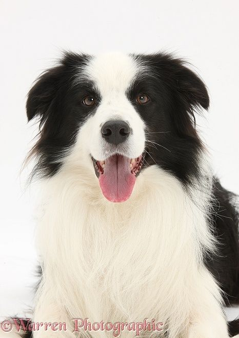 Black And White Border Collie Dog With Images White Border