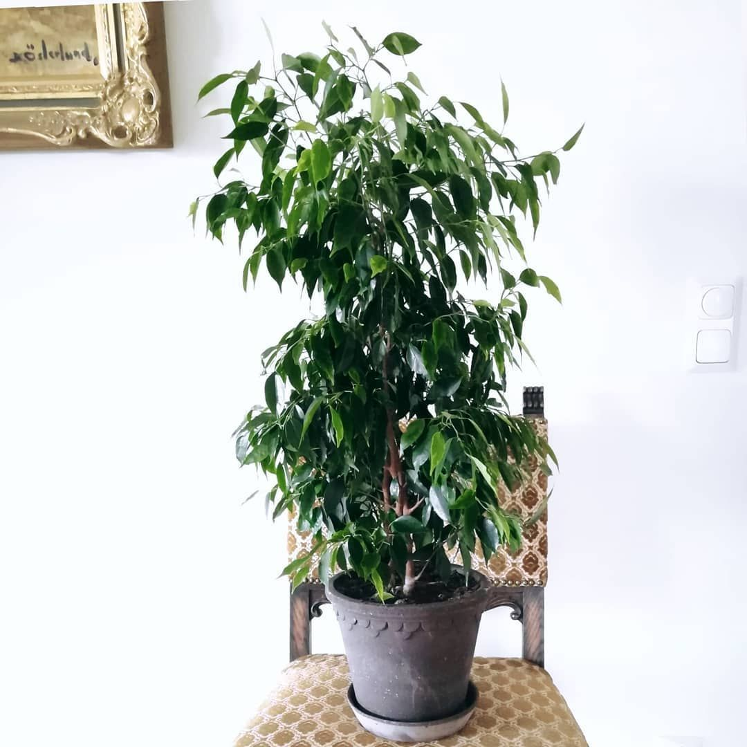 big plants ficus benjamina plant display plants home life with plants big plants ficus benjamina plant display plants home life with plants