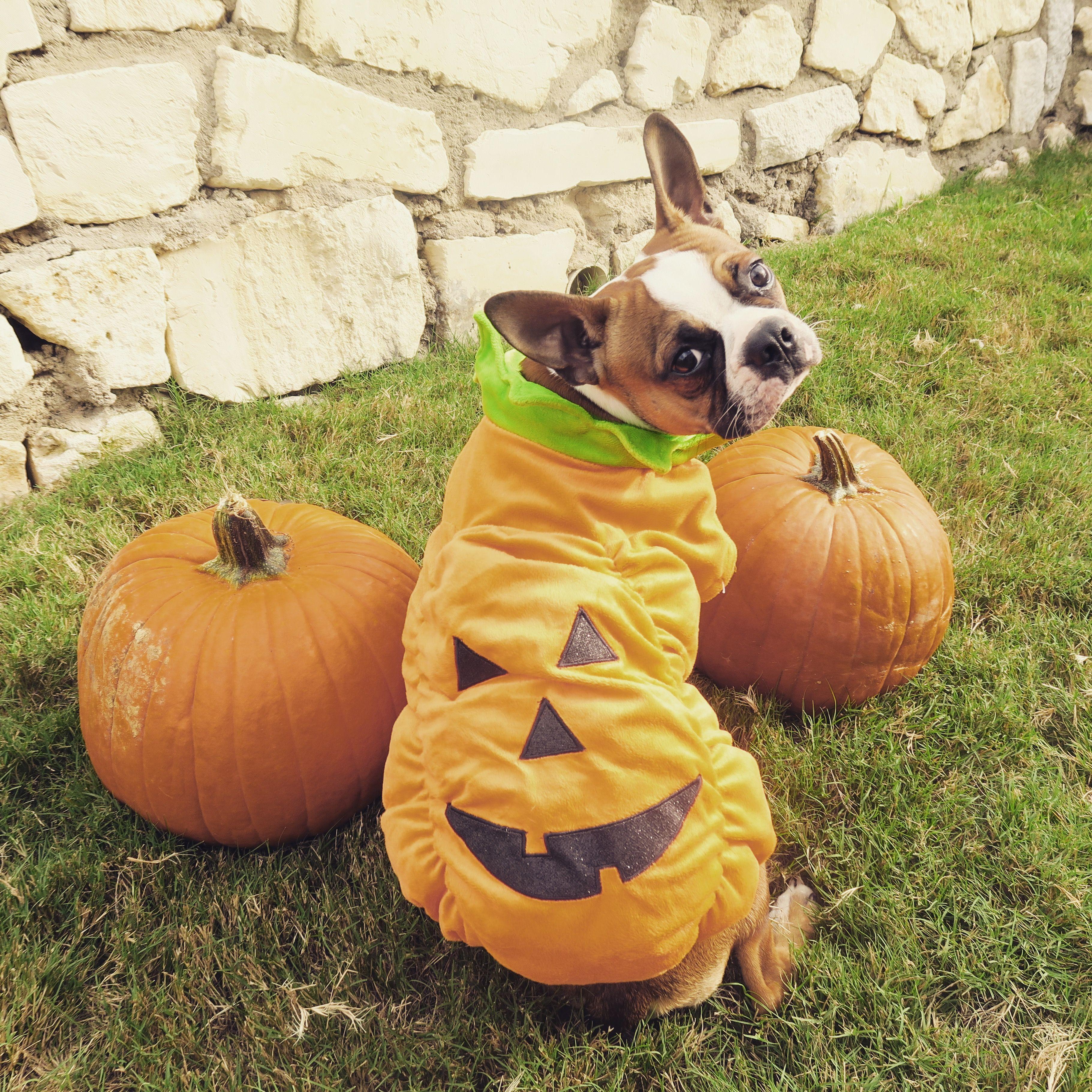 Boston Terrier Halloween Costume Boston Terrier Halloween